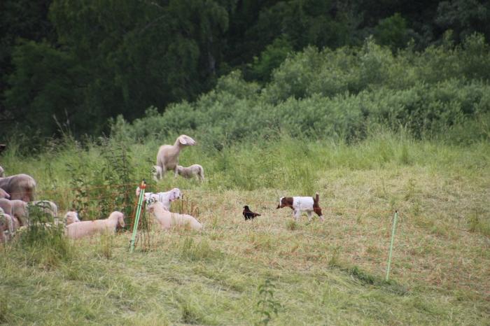 SheepRomance01